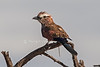 Purple Roller, Coracias naevius, or Rufous-crowned Roller, Lewa Wildlife Conservancy, Kenya, Africa