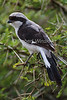 Grey-backed Fiscal, Lanius excubitoroides, Lake Nakuru National Park, Kenya, Africa