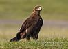 Eagle, Tawny Eagle, Aquila a. rapax, Lake Nakuru National Park, Kenya, Africa, Accipitriformes Order; Accipitridae Family