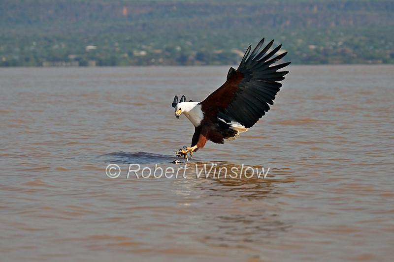 African Fish Eagle, Haliaeetus vocifer, about to grab a fish in its talons, Lake Baringo, Kenya, Africa
