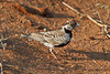 Fischer's Sparrow-Lark, Eremopterix leucopareia, Tsavo East National Park, Kenya, Africa