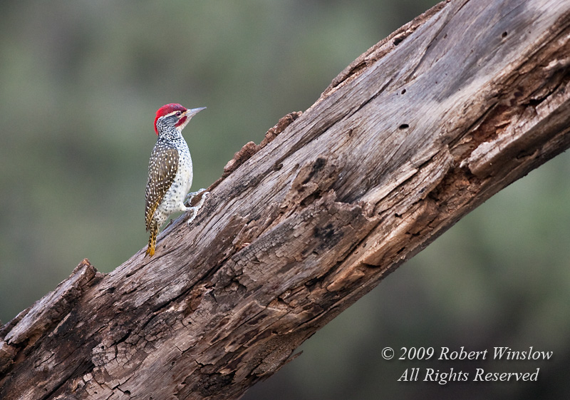 Golden-tailed Woodpecker, Campethera abingoni, Samburu National Reserve, Kenya, Africa