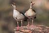 Egyptian Goose,  Egyptian Geese, Alopochen aegyptiaca, Samburu National Reserve, Kenya, Africa