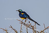 Golden-breasted Starling, Lamprotornis regius, Samburu National Reserve, Kenya, Africa
