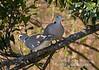 Dove, Ring-necked Doves, Streptopelia capicola somalica, Masai Mara National Reserve, Kenya, Africa, Columbiformes Order, Columbidae Family