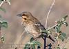 Sparrow-weaver, Donaldson-Smith's Sparrow Weaver, Plocepasser donaldsoni, Samburu National Reserve, Kenya, Africa, Passeriformes Order, Ploceidae family