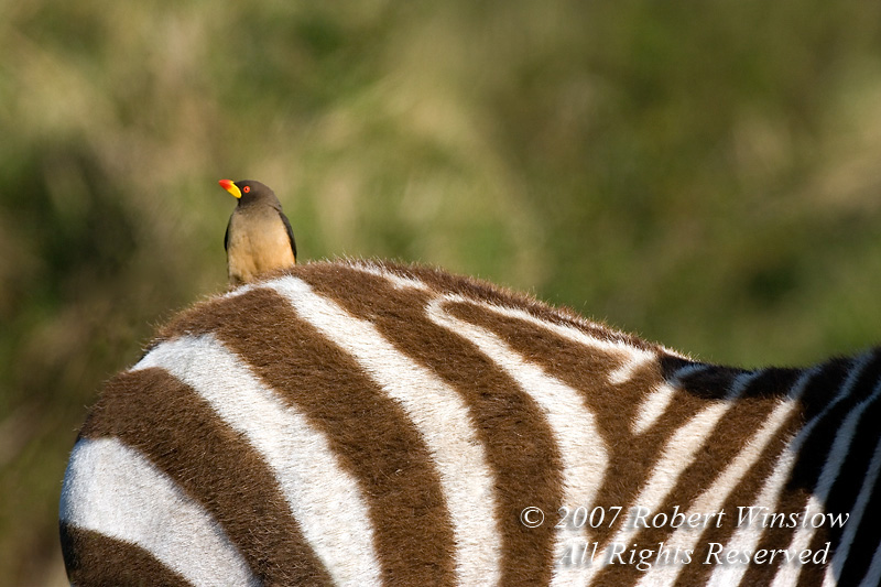 Oxpecker, Yellow-billed Oxpecker, Buphagus africanus, on the Back of a Plains Zebra, Equus burchellii, Masai Mara National Reserve, Kenya, Africa, Passeriformes Order, Sturnidae Family