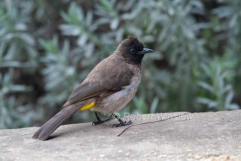 Common Bulbul, Pycnonotus barbatus, Masai Mara National Reserve, Kenya, Africa, a member of the bulbul family of passerine birds