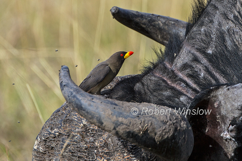 Yellow-billed Oxpecker, Buphagus africanus, on the Back of an African Buffalo,  Masai Mara National Reserve, Kenya, Africa, Passeriformes Order, Sturnidae Family