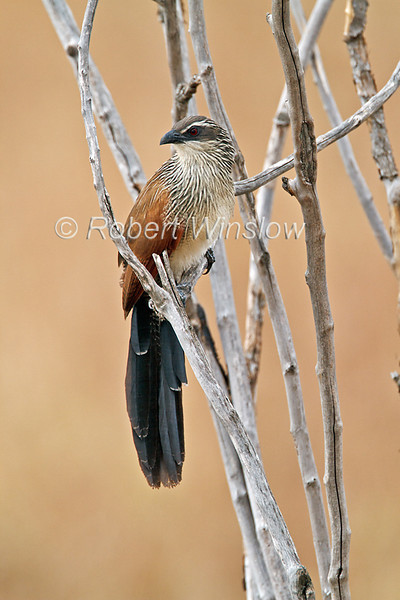 White-browed Coucal, Centropus superciliosus,  Masai Mara National Reserve, Kenya, Africa, Cuculifromes Order, Cuculidae Family