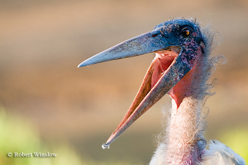 Stork, Marabou Stork (Leptoptilus crumeniferus), Mount Kenya National Park, Kenya, Africa, Ciconiiformes Order, Ciconiidae Family