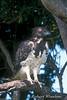 Eagle, Martial Eagle, Polemaetus bellicosus, Masai Mara National Reserve, Kenya, Africa, Accipitriformes Order; Accipitridae Family
