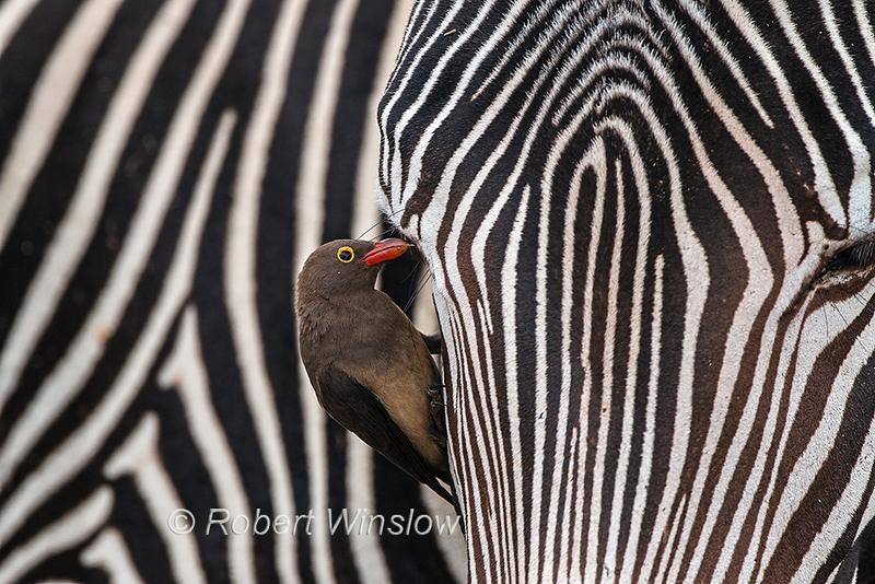 Red-billed Oxpecker, Buphagus erythrorhynchus, Samburu National Reserve, Kenya, Africa