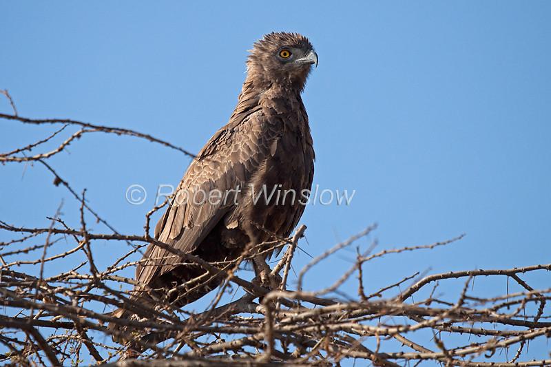 Brown Snake-Eagle, Circaetus cinereus, Amboseli National Park, Kenya, Africa