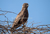 Brown Snake-Eagle, Circaetus cinereus, Amboseli National Park, Kenya, Africa
