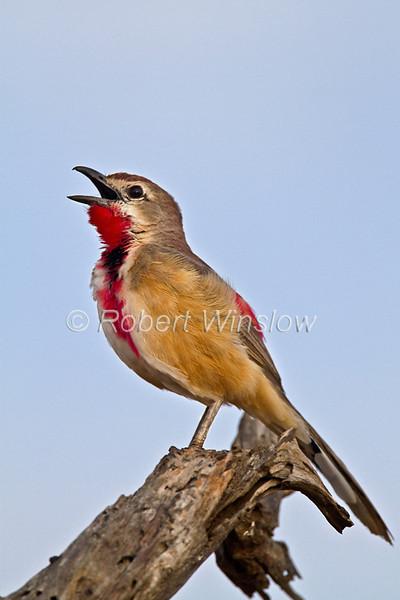 Male, Singing, Rosy-patched Bush-shrike, Rhodophoneus cruentus cathemagmenus, Tsavo East National Park, Kenya, Africa