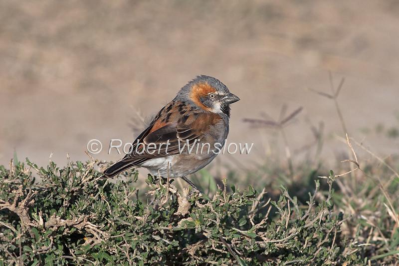 Rufous Sparrow, Passer rufocinctus, Ol Pejeta Wildlife Conservancy, Kenya, Africa