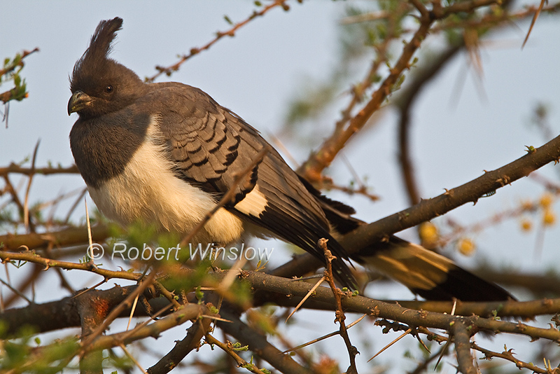 White-bellied Go-away-bird, Corythaixoides leucogaster, Tsavo West National Park, Kenya, Africa