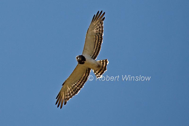 Black-chested Snake Eagle, Circaetus pectoralis, Flying, Lake Nakuru National Park, Kenya, Africa