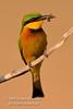 Bee-eater, Little Bee-eater, Merops pusillus cyanostictus, Merops pusillus, Masai Mara National Reserve, Kenya, Africa, Coraciiformes Order, Meropidae Family