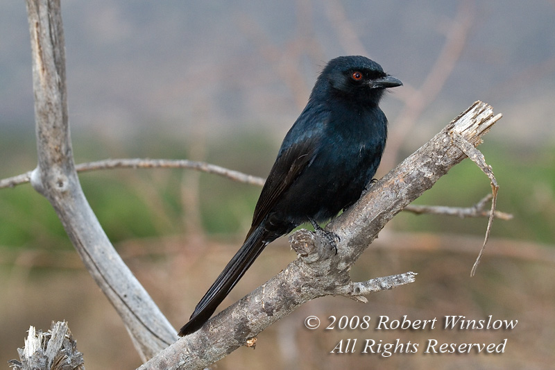 Drongo, Common Drongo, Dicrurus a. adsimilis, Samburu National Reserve, Kenya, Africa,  Passeriformes Order, Dicruridae Family