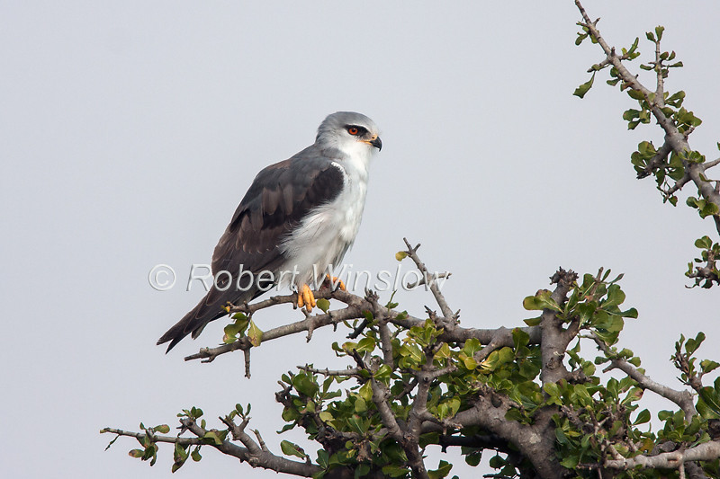 Black-shouldered Kite, Elanus caeruleus, Masai Mara, Kenya, Africa