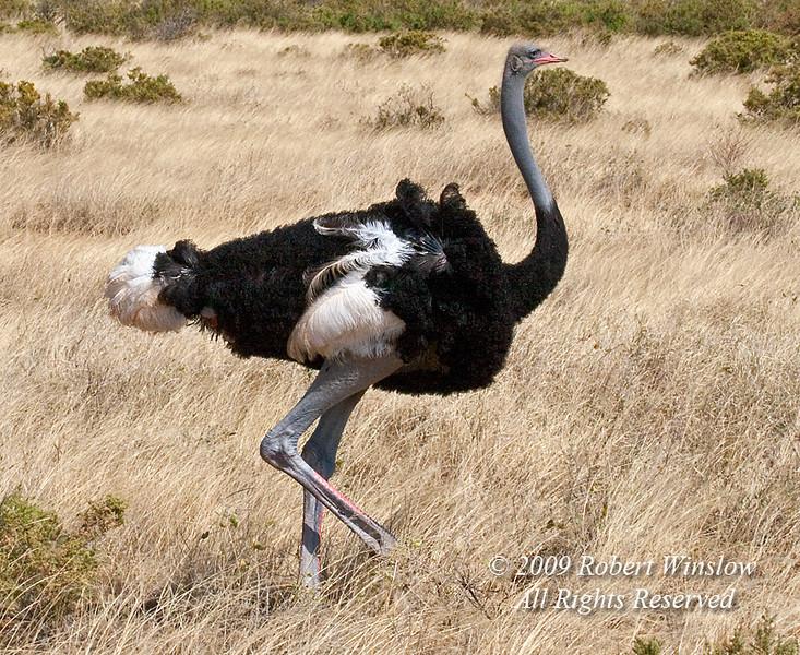 Male Somali Ostrich, Struthio camelus molybdophanes, Samburu National Reserve, Kenya, Africa