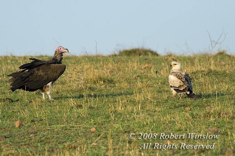 Vulture, Lappet Faced Vulture; Torgos tracheliotus; and Tawny Eagle, Aquila rapax Masai Mara National Reserve, Kenya, Africa,