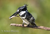 Kingfisher, Pied Kingfisher, Ceryle rudis, With a fish in its bill, Amboseli National Park, Kenya, Africa, Coraciiformes Order, Alcedinidae Family