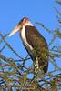 Stork, Marabou Stork, Leptoptilus crumeniferus, Samburu National Reserve, Kenya, Africa, Ciconiiformes Order, Ciconiidae Family
