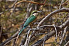 Somali Bee-eater, Merops revoilii, Samburu National Reserve, Kenya, Africa