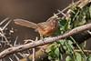Rufous Chatterer, Turdoides rubiginosa, Samburu National Reserve, Kenya, Africa
