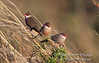 Waxbill, Three Common Waxbills, Estrilda astrild, Masai Mara, Kenya, Africa, Passeriformes Order, Estrildidae Family, Estrildinae Subfamily