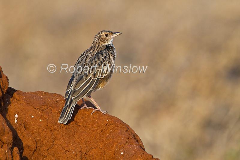 Red-winged Lark, Mirafra hypermetra, Tsavo East National Park, Kenya, Africa
