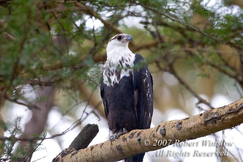 Eagle, Immature African Fish Eagle, Haliaeetus vocifer, Lake Nakuru National Park, Kenya, Africa, Falconiformes Order; Accipitridae Family