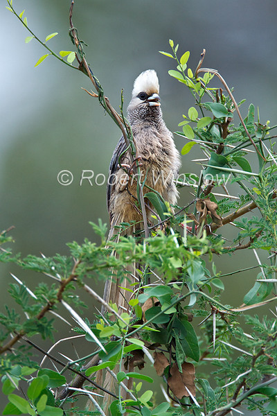 White-headed Mousebird, Colius leucocephalus, Samburu National Reserve, Kenya, Africa