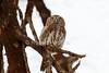 Pearl-spotted owlet, Glaucidium perlatum, Samburu National Reserve, Kenya, Africa