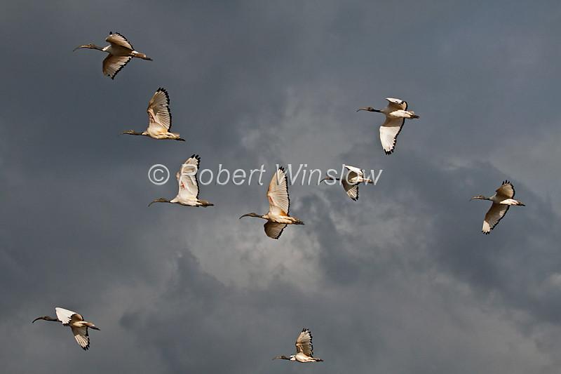 Sacred Ibis, Threskiornis aethiopicus, Flying, Lake Nakuru National Park, Kenya, Africa