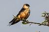 Mosque Swallow, Cecropis senegalensis, Masai Mara National Reserve, Kenya, Africa