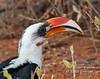 Von der Deckens Hornbill, Tockus deckeni, Samburu National Reserve, Kenya, Africa