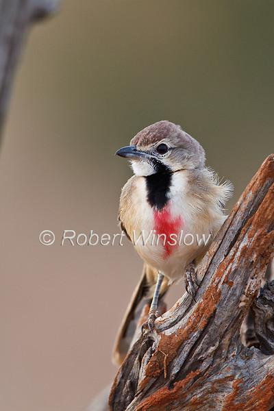 Female, Rosy-patched Bush-shrike, Rhodophoneus cruentus cathemagmenus, Tsavo East National Park, Kenya, Africa