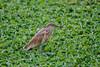 Common Squacco Heron, Ardeola ralloides, Masai Mara National Reserve, Kenya, Africa