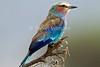 Lilac-breasted Roller, Coracias caudata, Samburu National Reserve, Kenya, Africa, Coraciiformes Order, Coraciidae Family