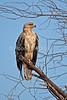 Tawny Eagle, Aquila nipalensis, Amboseli National Park, Kenya, Africa