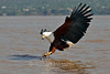 African Fish Eagle, Haliaeetus vocifer, about to grab a fish in its talons, Lake Baringo, Kenya, Africa