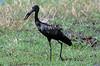 African Open-billed Stork, Anastomus lamelligerus, Masai Mara National Reserve, Kenya, Africa