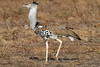 Kori Bustard, Ardeotis kori struthiunculus. Tsavo East National Park, Kenya, Africa, Gruiformes Order, Otididae Family, The Heaviest Flying Bird in Tropical Africa. Males weigh up to 18 kg or more.