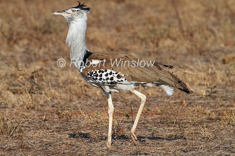 Kori Bustard, Ardeotis kori struthiunculus. Tsavo East National Park, Kenya, Africa, Gruiformes Order, Otididae Family, The Heaviest Flying Bird in Tropical Africa. Males weigh up to 18 kg or more.