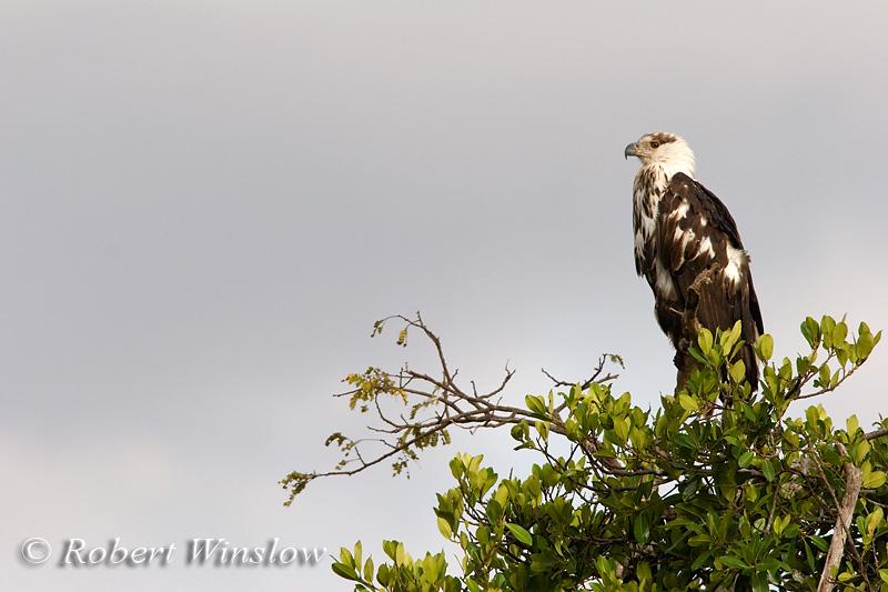 Eagle, Immature African Fish Eagle, Haliaeetus vocifer, Masai Mara National Reserve, Kenya, Africa, Falconiformes Order; Accipitridae Family