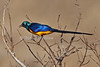 Golden-breasted Starling, Cosmopsarus regius, Tsavo East National Park, Kenya, Africa